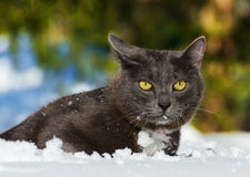 Cat Walking In The Snow Stock Photo
