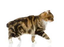 Cat walking. Royalty Free Stock Photography