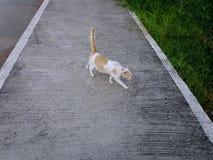 Cat Walking nacional blanca anaranjada en el sendero imagenes de archivo