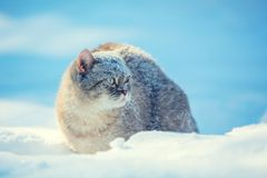 Cat walking outdoors in deep snow royalty free stock images