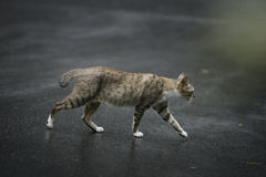 Cat walking outdoors Stock Photography