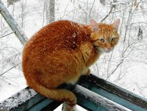 The cat is walking outdoors in the winter. Beautiful winter nature and red cat. Details and close-up. royalty free stock photography