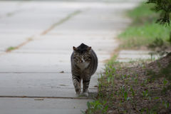 Cat walking outside Royalty Free Stock Photos