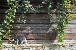 Cat walking on a parapet of wooden house. Creeper plant on rustic wooden wall with a cat walking on a parapet royalty free stock image