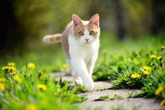 Cat walking on a path Stock Photo