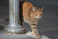 Cat walking by. Portrait of street cat walking near the streetlamp Royalty Free Stock Photos