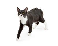 Cat Walking preto e branco ativa fotos de stock royalty free
