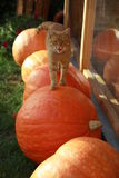Cat walking on the pumpkins Stock Photo