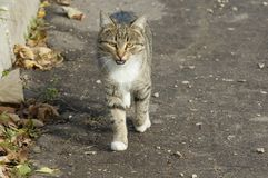 Cat walking Stock Image