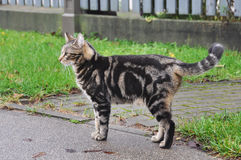 Cat walking on the road near the fance Royalty Free Stock Photos