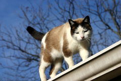 Cat Walking on Roof. Mixed breed shorthaired cat, (half Siamese) front view, walking on sloping slanted rooftop, blue sky, leafless branches in background Stock Photo