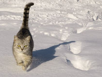 Cat walking in the snow. Grey cat walking in the snow on a sunny day Stock Photography