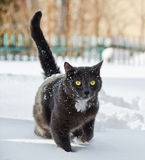 Cat walking in the snow Royalty Free Stock Photos