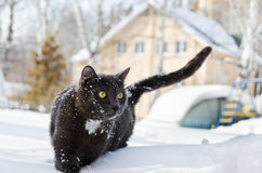 Cat walking in the snow Stock Images