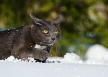Cat walking in the snow Royalty Free Stock Photo