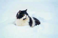 Cat walking in the snow Royalty Free Stock Image