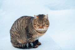 Cat walking on the snow Royalty Free Stock Images