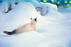 Cat walking in snow Royalty Free Stock Image