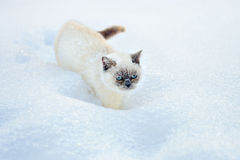 Cat walking in snow Stock Image