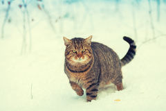 Cat walking in the snow Stock Image