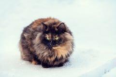 Cat walking in snow. Tortoiseshell Siberian cat walking in snow Stock Images