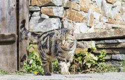 Cat walking and  stalking. Brown cat walking  and stalking  outdoor Stock Photos