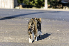 Cat walking on the street Royalty Free Stock Photography