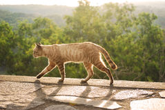 Cat walking during sunset Royalty Free Stock Image