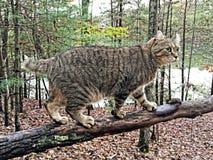 Cat Walking sur un membre d'arbre Photos libres de droits