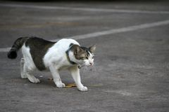 The cat walking to attack something on the concrete floor stock photos