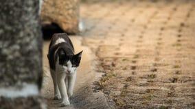 Cat walking. A cat walking towards the camera Royalty Free Stock Photography