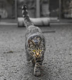 Cat Walking Towards / Looking at Camera Stock Images