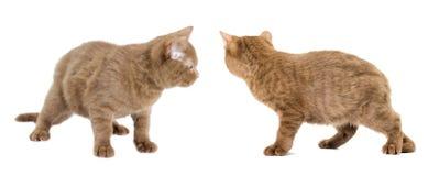 Cat walking Royalty Free Stock Photo