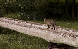 Cat is walking royalty free stock photo
