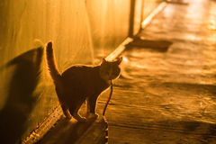 Cat walks along a long corridor. Backlight. concept of danger , unknown. Emotion alertness Royalty Free Stock Photo