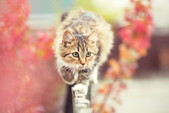 Cat walks on the fence Royalty Free Stock Photo