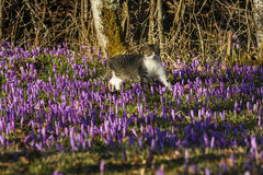 A cat walks through a field of crocuses Stock Photo