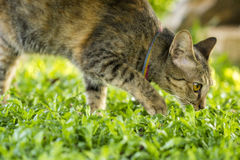 Cat walks in the grass field. Cat walks in the outdoor grass field Royalty Free Stock Image