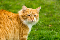 Cat walks his walk. Auburn color cat walks in green grass Royalty Free Stock Photo