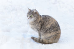 Cat Walks na neve Fotografia de Stock Royalty Free