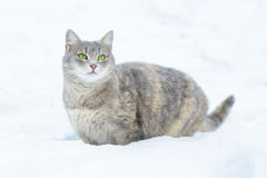 Cat Walks na neve Fotos de Stock Royalty Free