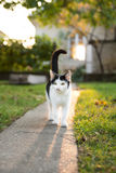 Cat walks on pavement in sunshine Stock Photos