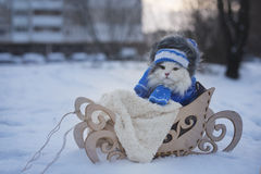 Cat walks in sledge frosty day Royalty Free Stock Image