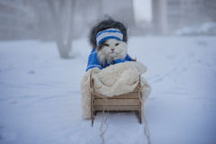 Cat walks in sledge frosty day Royalty Free Stock Photos