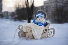 Cat walks in sledge frosty day Stock Image