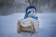 Cat walks in sledge frosty day Stock Photography