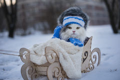 Cat walks in sledge frosty day Stock Images