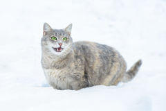 A Cat Walks in the Snowr Royalty Free Stock Images