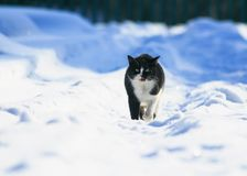 cat walks in the white fluffy snow in the winter yard Stock Photo