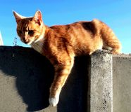 Cat on the Wall. Beautiful ginger cat on sundown wall Royalty Free Stock Photography
